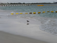 Pied oystercatcher on Coogee beach (Figgles1) Tags: bird birds shark snorkel snorkeling oystercatcher barrier pied eco coogee piedoystercatcher piedoystercatchers p1020541 coogeeecosharkbarrier