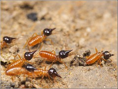 Termites soldiers / Ecuador - Pastaza (just_me78) Tags: macro nature animals closeup insect tiere ecuador natur insects olympus termites makro insekt insekten omd em1 termiten raynox pastaza