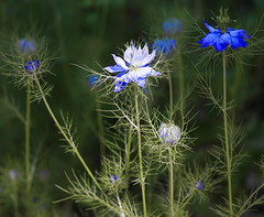 Tenderly blueness (Sappho et amicae) Tags: wildflowers eljkagavrilovi