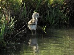 Chicky...... (manonvanderburg) Tags: vacation nature canon birding chick summertime algarve birdwatching riaformosa stilt pulletje birdphotography steltkluut sx60 vogelfotografie zoutpannen powerrrrshot