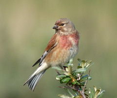 Linnet (male) (Peanut1371) Tags: pink brown bird grey finch linnet nationalgeographicwildlife