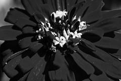 Dark Flower (jfusion61) Tags: flowers summer bw white black detail macro gardens nikon pollen maclay 105mm d810