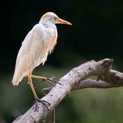Branching Out (Wes Iversen) Tags: nature birds square bokeh michigan wildlife branches egrets baycity baycitystaterecreationarea cattleegrets tamron150600mm