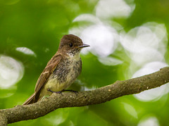 Perched Phoebe (Catskills Photography) Tags: bird nature animal bokeh wildlife phoebe easternphoebe hbw canon70300mmllens