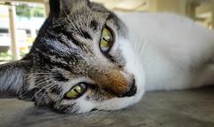 Closer (BHiveAsia) Tags: cat cats animal animals kitten kitty feline felines wild life wildlife nature portrait pet pets cute