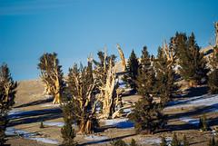Bristlecone Pines (fate atc) Tags: california sunset snow tree dry whitemountains bishop highaltitude bristleconepine ancienttree sunsetlightonbristleconepine
