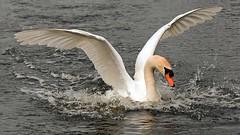 ND6_2530 (charlesvanlangeveld) Tags: white swans witte wittezwanen zwanen zwans whitezwans