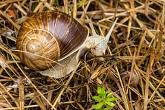 Two Snails (RGaenssler) Tags: tiere helix schnecken mollusca gastropoda weinbergschnecke pulmonata helicidae stylommatophora helixpomatia floraundfauna lophotrochozoa orthogastropoda lungenschnecken landlungenschnecken schnirkelschnecken weichtiere heterobranchia helicoidea lophotrochozoen
