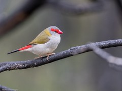 Red-browed Finch (Mykel46) Tags: birds canon wildlife au australia finch southaustralia redbrowed natutre mountobservation 100400mk2 1dxmk2