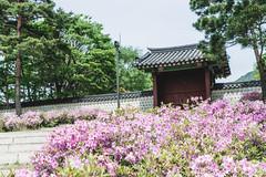 # (David C W Wang) Tags: flower tree green leaf korea seoul   gyeongbokgung        sel2470z sonya7ii