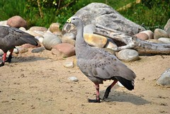 Cape Barren Geese (Glenn Pye) Tags: bird nature birds geese nikon wildlife wwt martinmere capebarrengeese d3000 nikond3000