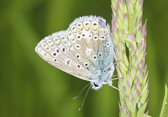 Butterfly - Common Blue (Prank F) Tags: blue macro nature closeup butterfly insect wildlife common wildlifetrust twywellhillsdales northantsuk