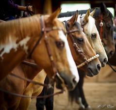 Show day-37 (Webbed Foot Photo) Tags: horses horse pennsylvania ponycamp webbedfootphotography pentaxk1 opengateranch darrenolsen dtolsen webbedfootphoto hunterhillsfarm