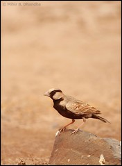 Ashy Crowned Sparrow Lark (Eremopterix griseus) (mihir_dhandha) Tags: lark birdphotography nalsarovar canonkitlens ashycrownedsparrowlark eremopterixgriseus canoneos7d canon55250