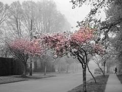 Sakura series (Nick Kenrick.) Tags: sakura ruleofthirds