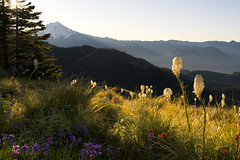 Blooms and Mountains (gwendolyn.allsop) Tags: morning mountain mt hike jefferson wildflower d5200