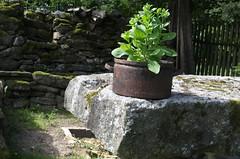 IMGP3746 (hlavaty85) Tags: basil pot rusty stone