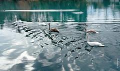 swans (welenna) Tags: swans swan schwan schwne bird vgel vogel wasserspiegel water wasser aare river fluss autumn herbst