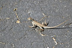 Lizard- Keeled Earless Lizard, Texas, Kleberg County, Padre Island National Seashore (EC Leatherberry) Tags: texas wildlife lizard holbrookiapropinqua keeledearlesslizard klebergcounty padreislandnationalseashore reptile nationalparkservice
