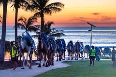 Camel train - Cable Beach (jan_clewett) Tags: cablebeach camels broome kimberleys westernaustralia sunset