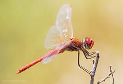 Sympetrum fonscolombii - Selys, 1840 (fabrizio daminelli ) Tags: wild macro nature canon dragonflies wildlife natura tamron libellula odonata libellulidae anisoptera redveineddarter sympetrumfonscolombii fabriziodaminelli selys1840 cardinalevenerosse