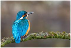 Common Kingfisher (male) - IJsvogel (man) (Alcedo atthis) (Martha de Jong-Lantink) Tags: 2016 alcedoatthis commonkingfishermale eisvogel ijsvogelman ijsvogels isfugl jeroenstel jeroenstelnatureandwildlifephotography kungsfiskare martinpescatore martinpêcheurdeurope martínpescador