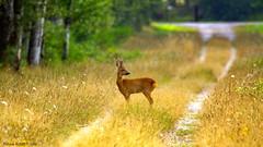 Brocard (Phil du Valois) Tags: brocard chevreuil faune sauge libre wild wildlife free domaine chambord