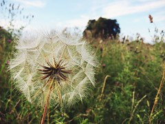 Dandelion Clock (BewareOfTheSnakes) Tags: meadow iphoneography aphotoaday dandelion wild nature