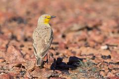Gibberbird (chrissteeles) Tags: gibberbird bird birding birdsvilletrack outback southaustralia sa
