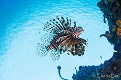 Undersea bird... (Tahiticed) Tags: poisson lion lionfish pterois volitans martinique underwater carabe lesser antilles