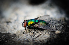 Goldfliege 1 (kstenjung) Tags: nikon d5100 deutschland makro macro mecklenburgvorpommern sigma105mm sigma goldfliege insects insekten blowfly