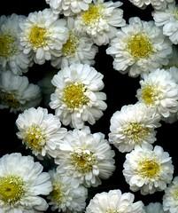 57546.25 Tanacetum parthenium 'Plenum' (horticultural art) Tags: horticulturalart tanacetumpartheniumplenum tanacetum matricaria flowers closeup macro