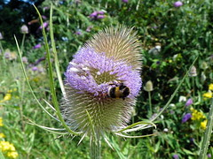 Teasel (Dipsacus fullonum) with bumblebee, Croxley Green (Peter O'Connor aka anemoneprojectors) Tags: 2016 animal animalia arthropod arthropoda bee bloom bumblebee caprifoliaceae croxleygreen dipsacales dipsacus dipsacusfullonum england flora flower hertfordshire hymenoptera insect insecta kodakeasysharez981 nature plant plantae wildlife z981 dipsacaceae kodak uk
