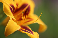 Hemerocallis 'All Fired Up' (lfeng1014) Tags: daylily hemerocallis allfiredup lily macro macrophotography canon5dmarkiii 100mmf28lmacroisusm closeup bokeh depthoffield dof lifeng