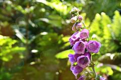 Digitale (BrigitteChanson (mostly off)) Tags: digitale flower fleur flor fiore bosco