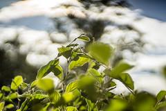 Bubble Clouds and green Leaves (*Capture the Moment*) Tags: 2016 backlight bokeh farbdominanz gegenlicht sonne sonnenuntergang sonya7ii sun sunset trioplan28100neo wetter golden green grn blatt bltter leaves