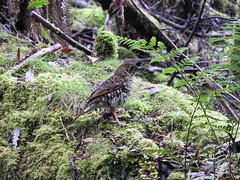 Whites Thrush Mt field (jeaniephelan) Tags: whitesthrush thrush bird tasmanianbird australianbird
