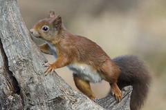 Eekhoorn (Sciurus vulgaris) image1 (sirwoodland) Tags: eekhoorn sciurusvulgaris natuurfotografie hbn7 wildlife natuur knaagdier lemelerberg