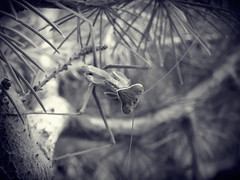 MANTIS RELIGIOSA (BLAMANTI) Tags: mantis insectos