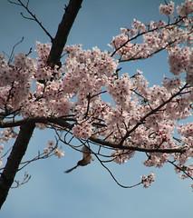 Kamakura   Sakura & Bird (Toni Kaarttinen) Tags: japan  japonia    jap japonsko jaapan  japani japon xapn    japn jepang an tseapin giappone  japna japonija  japo  japonska japn hapon  japonya nht bn japanese kamakura formercapital hanami sakura cherryblossom cherryblossoms cherries temple shrine bid flying zen garden