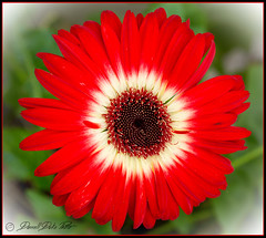 A Daisy of a Hand (Darrell Duke) Tags: africandaisy macro flowers red nature naturescolors