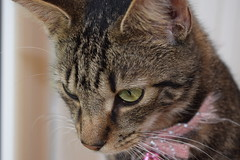 Mara ! (Mara 1) Tags: tabby stripes black grey fawn coat face eyes ears whiskers animal cat pet