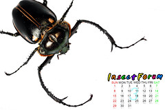 Beetle04 () Tags: insect beetle taiwan goliathus magasoma