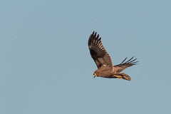 Marsh Harrier-4537 (Explored) (WendyCoops224) Tags: canon island eos explore marsh mere harrier 70d explored 100400mml rspbminsmere ©wendycooper2014
