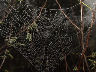 Dew on orb weaver spider web