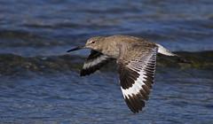 Willet (John Picken) Tags: california bird sandiego bif shorebird willet picken canonef400mmf56l crownpointpark canon7d wwwpickencom