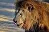 DSC_4233 (Arno Meintjes Wildlife) Tags: africa nature animal southafrica wildlife lion safari krugerpark pantheraleo arnomeintjes