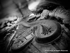 Anaconda (Armin Hage) Tags: washingtondc anaconda nationalzoo dcmetroarea giantsnake reptilediscoverycenter arminhage fiveyearsinunitedstates