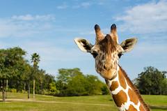 DSC_1347 (jakedrzewiecki) Tags: africa cute animal animals gardens tampa florida giraffes giraffe savannah busch
