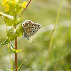 Argus bleu (Mariette80) Tags: papillon isre argusbleu